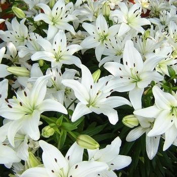 Шикарная траурная корзина Белые Лилии