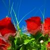 Алые Розы и белоснежная Гипсофила в корзине